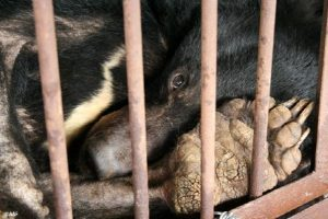 Bear in a bile farming cage.
