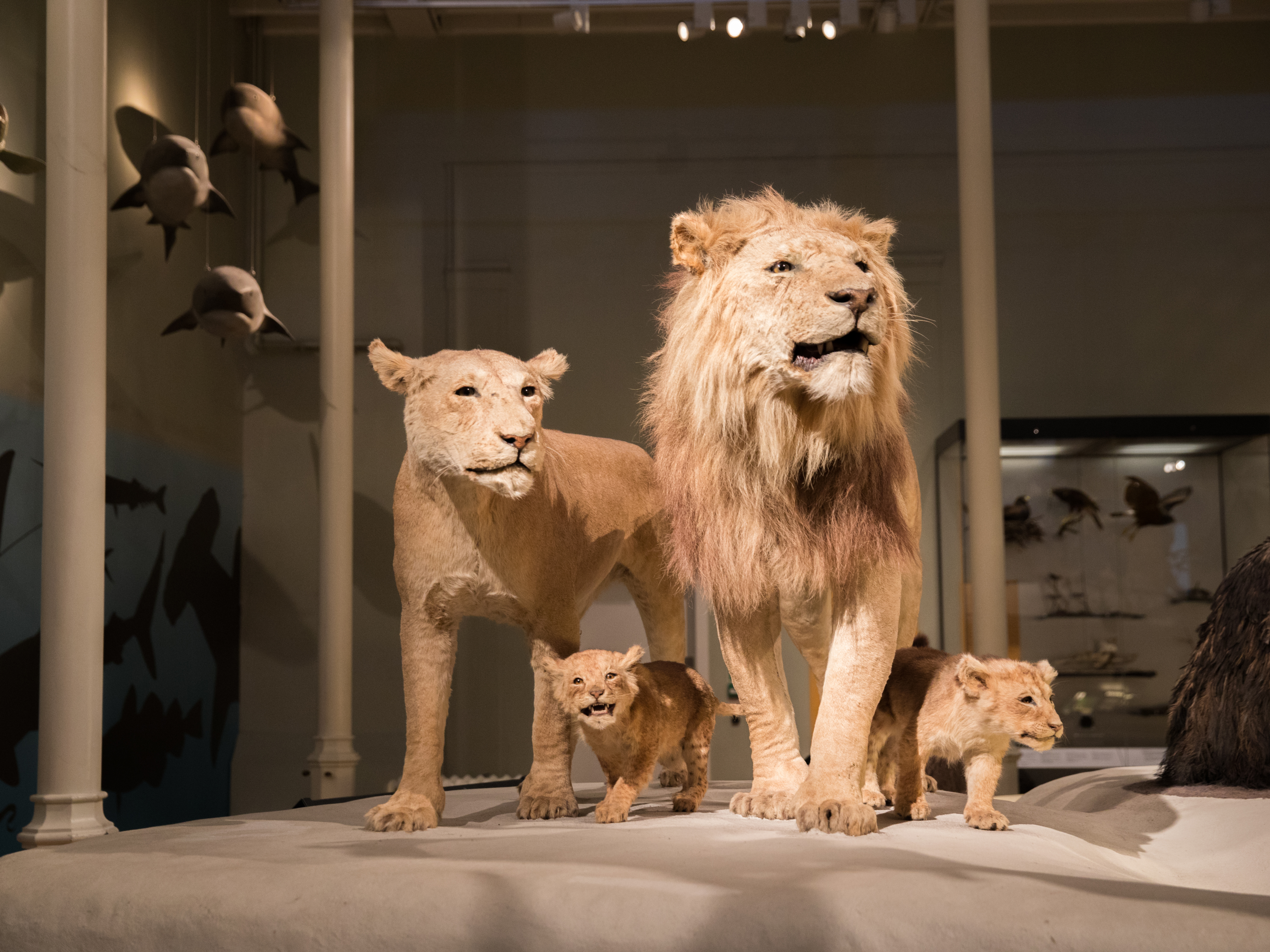 National Museum of Scotland lion and cubs